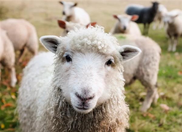 蒙古国向中国捐赠 30000 只羊来了!阿里云:愿免费提供 AI 算法支持清点
